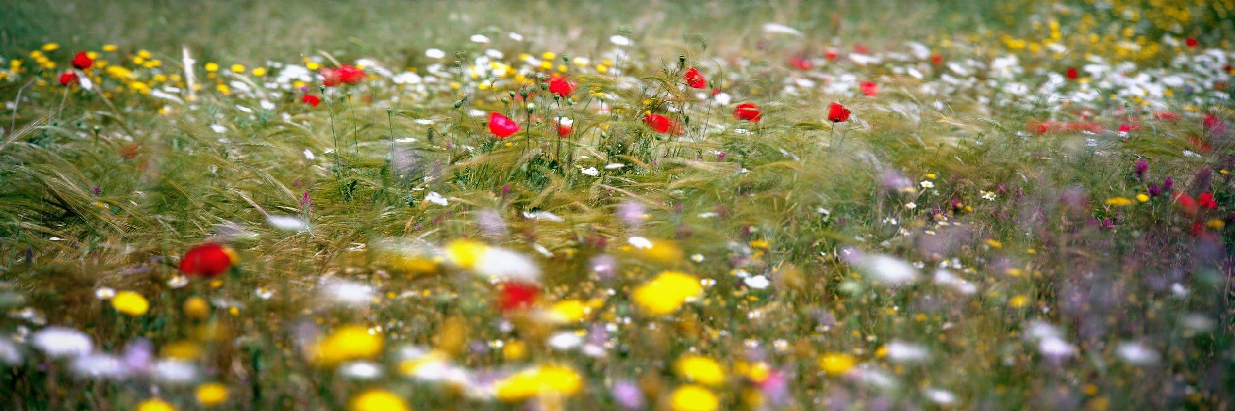wild-flowers panorama