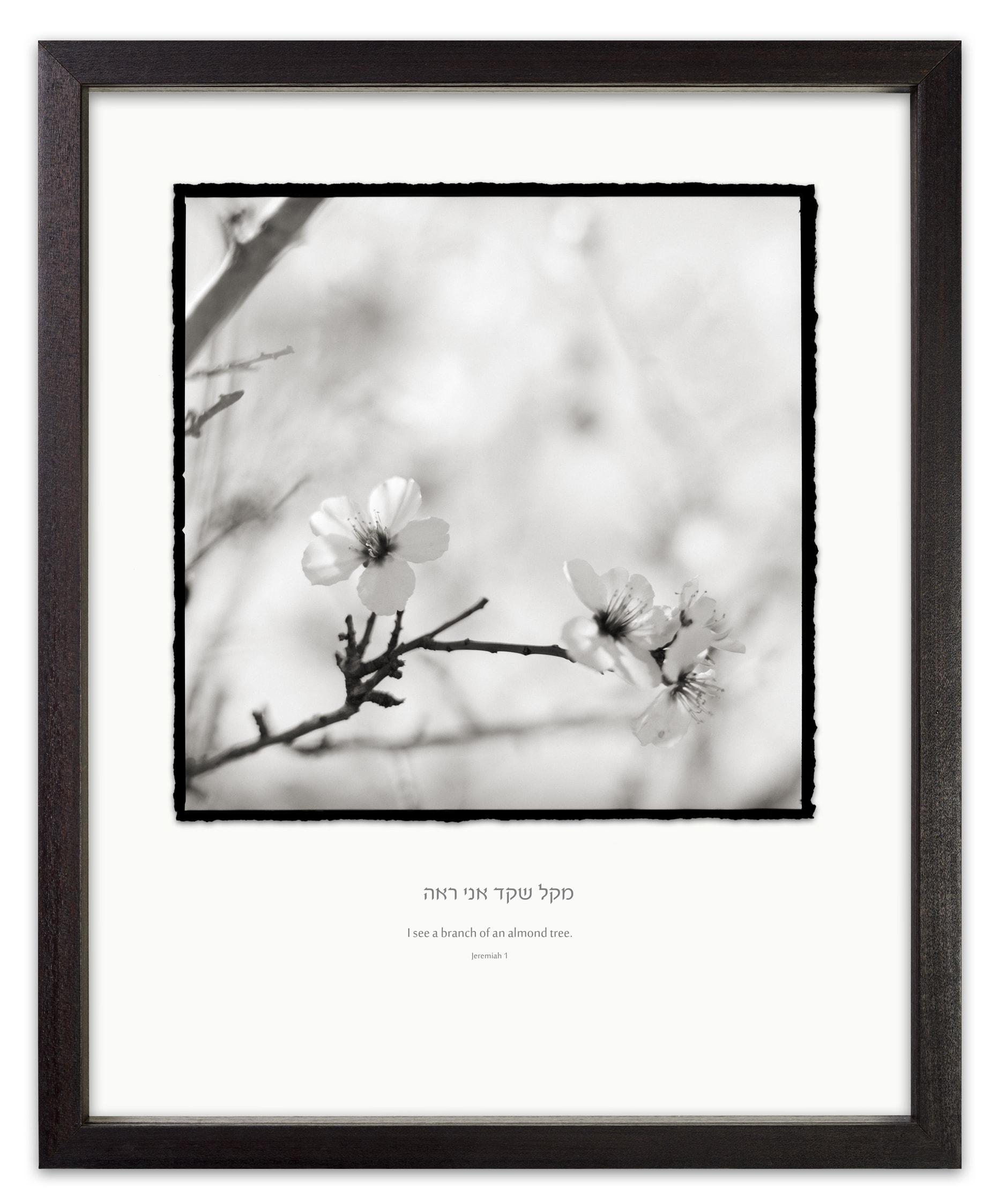 Almond Blossom jeremaia