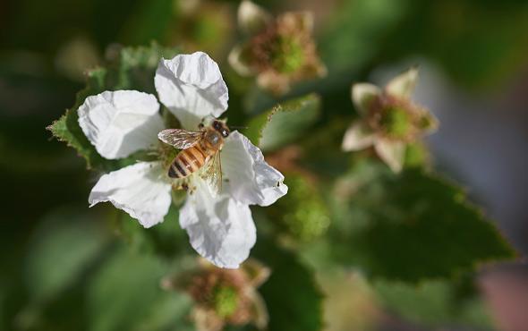 berry-bee